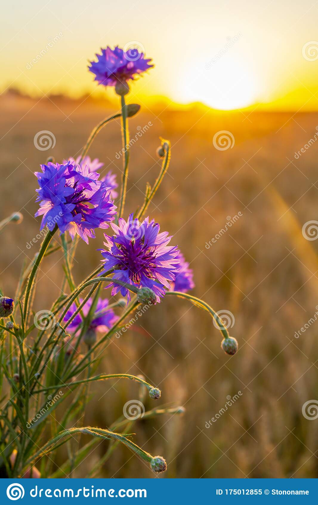 Purple Flowers In The Foreground And A Golden Heat Field At Sunset Golden Sunset Over Wheat Field Stock Image Image Of Orange Crop 175012855