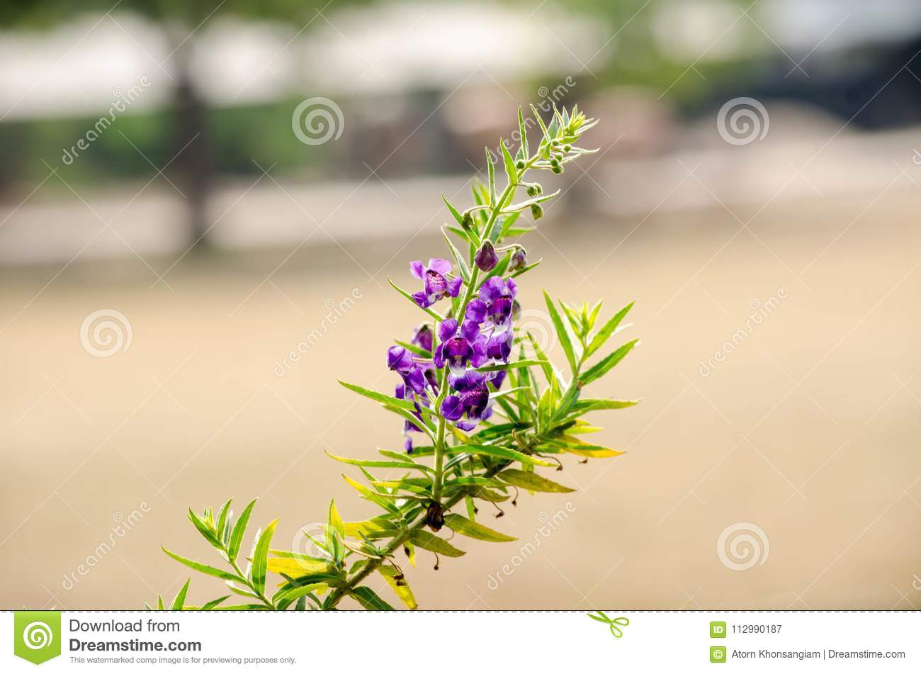Purple flowers or forget me flowers. Sakonnakhon,Forget me not Thailand