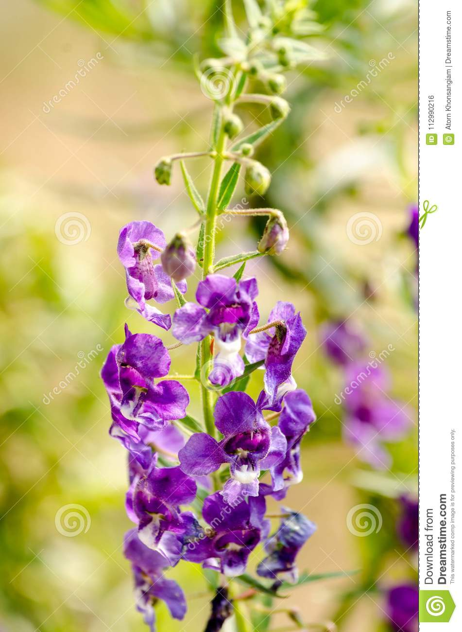 Purple flowers or forget me flowers Sakonnakhon,Forget me not Thailand
