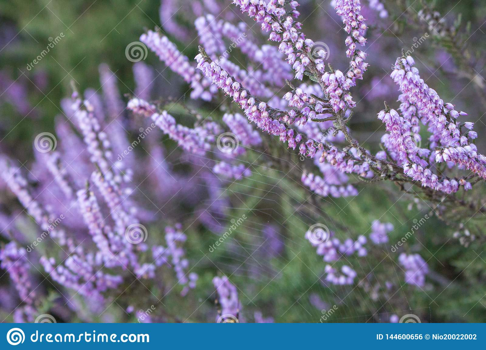 Purple flowers in grass closeup. Spting nature background. Violet and pink flowers. Blooming aroma flowers. Spring meadow.