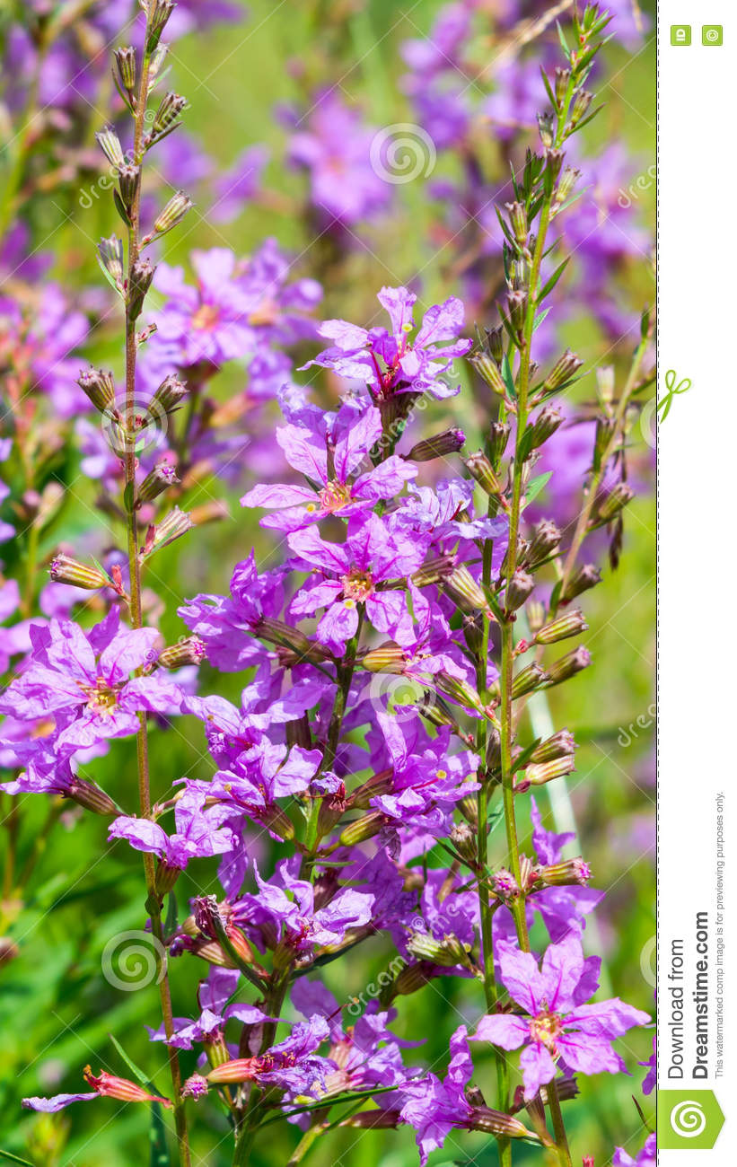 Purple Flowers In The Green Grass Stock Photo Image Of Leaf