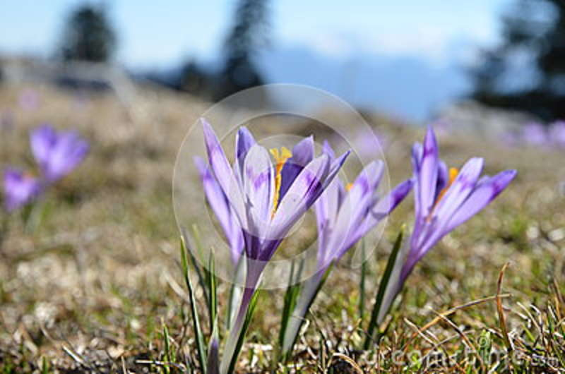 Purple flowers in the green grass at early spring stock photo download purple flowers in the green grass at early spring stock photo image of grass mightylinksfo