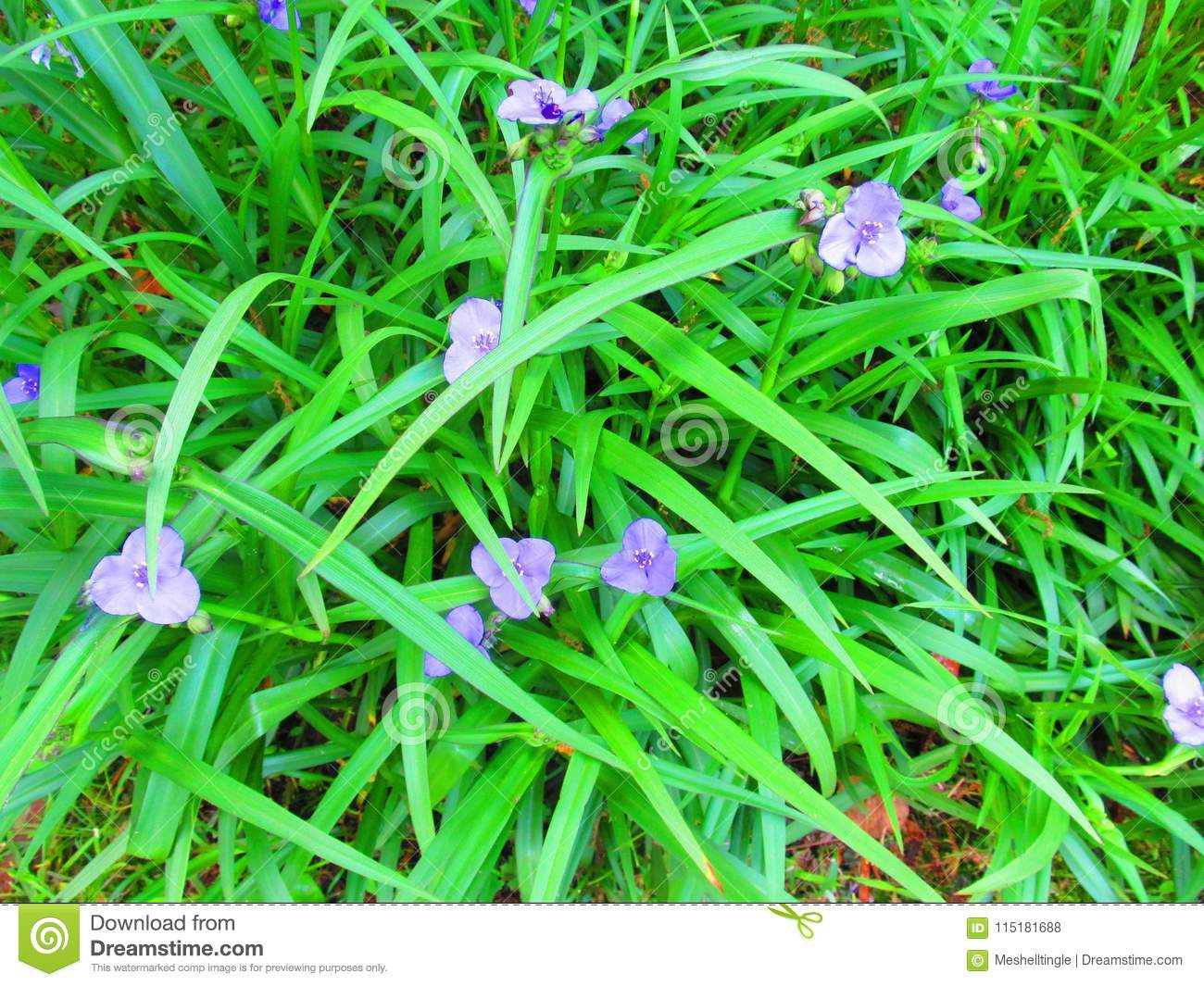 Purple Flowers In Green Grass Stock Photo Image Of Green Outdoor