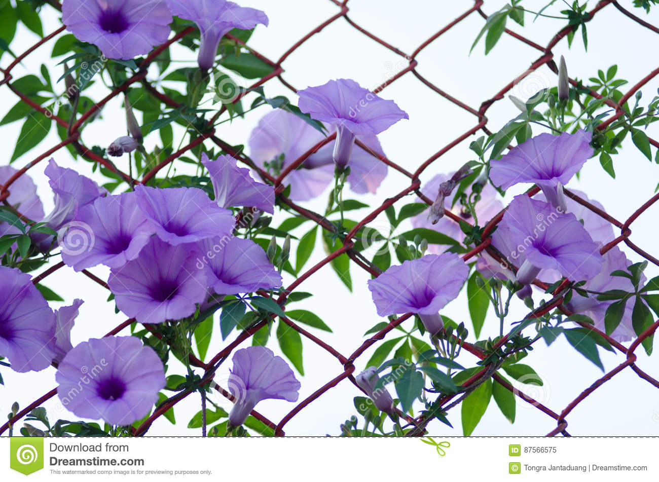 Purple flowers Ipomoea Cairica Beautiful bloom on fence A star