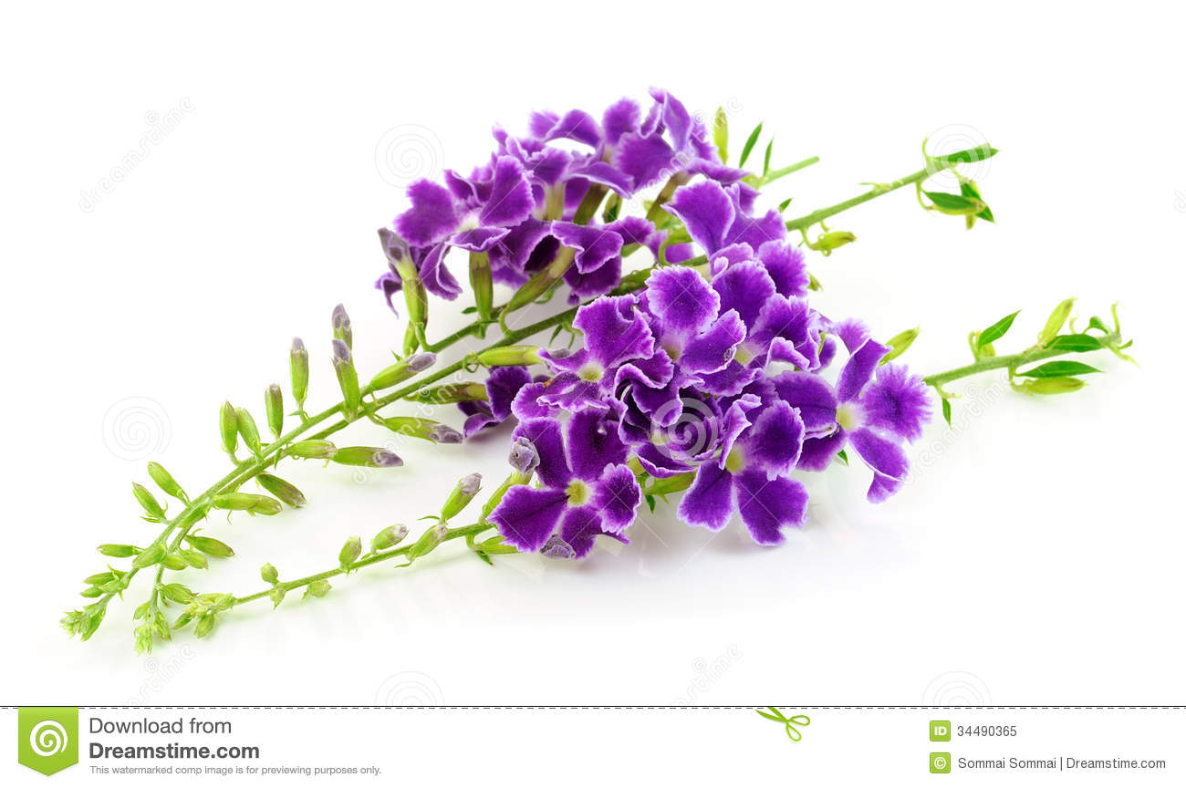 Pretty Purple Flowers White Background Purple flowers isolated on