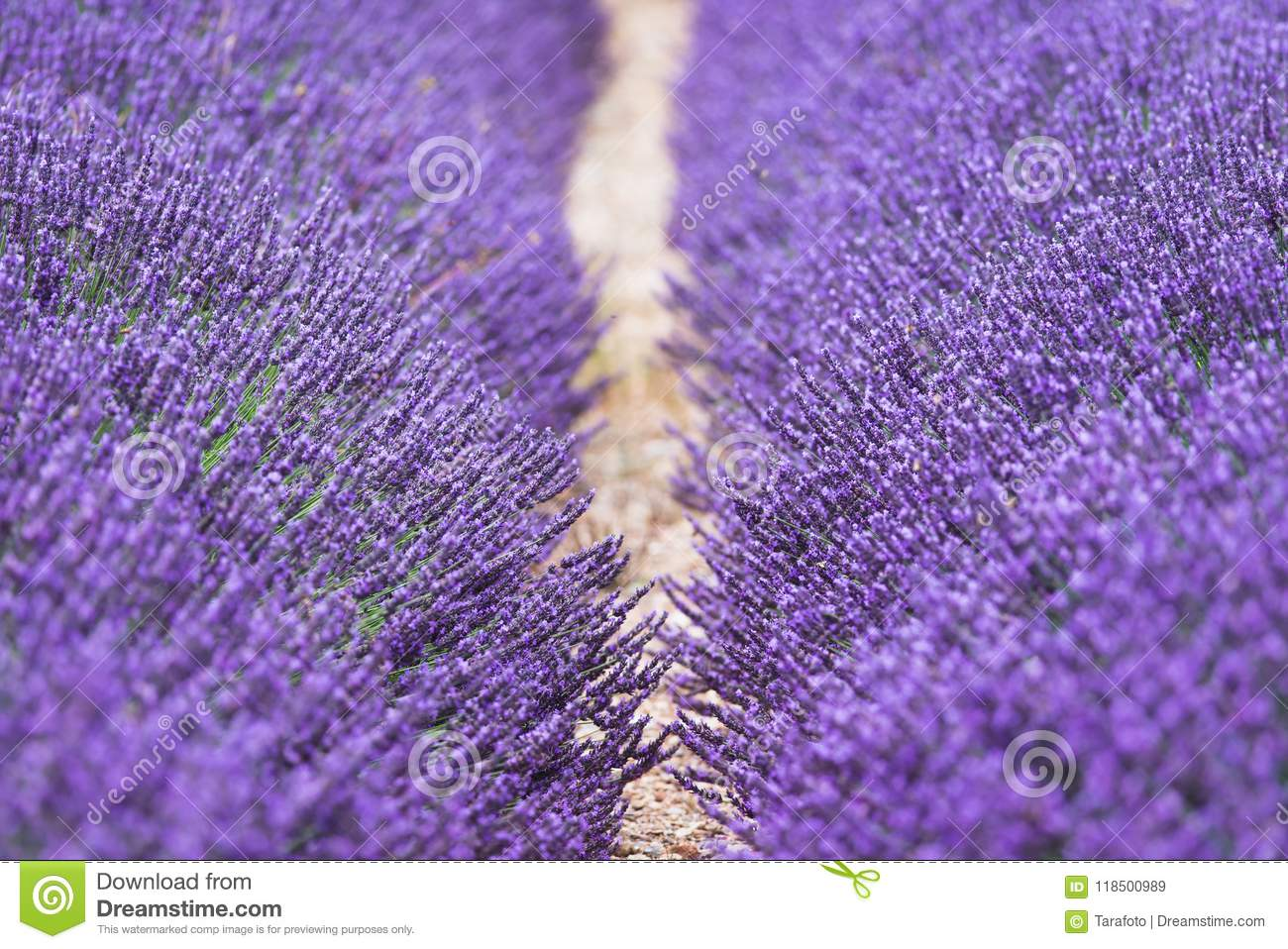 Purple Flowers Of Lavender On The Field In Provence France Stock