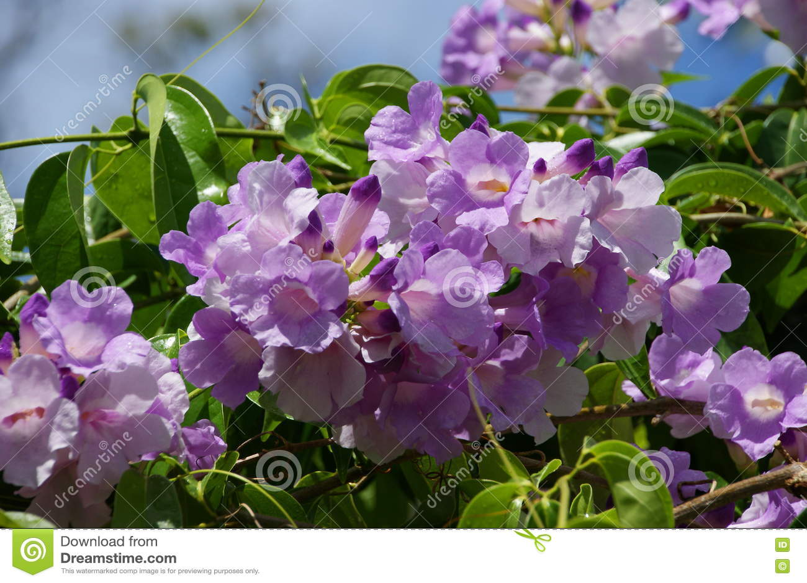 Liana Vine Flower