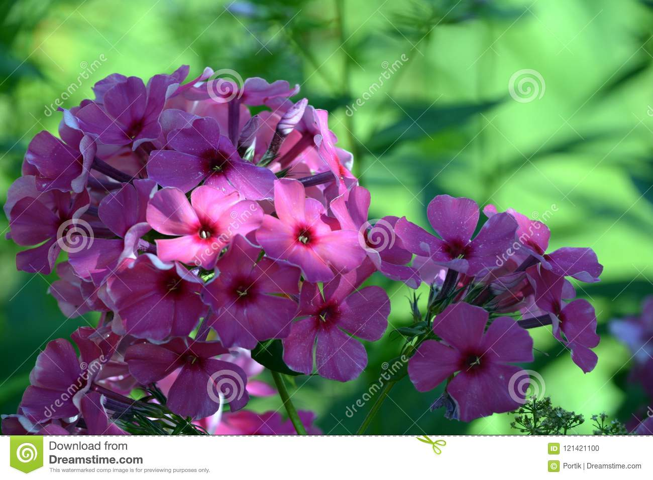 Purple Flowers In The Rays Of Light On A Background Of Green Grass