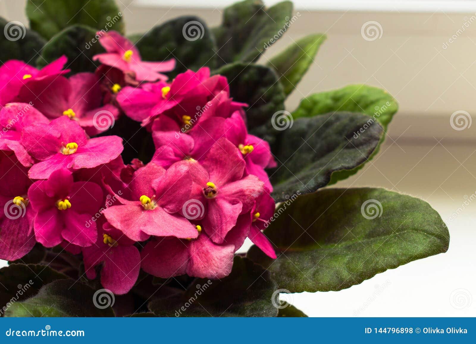 Purple flowers of Saintpaulia, Small pink flower on the window
