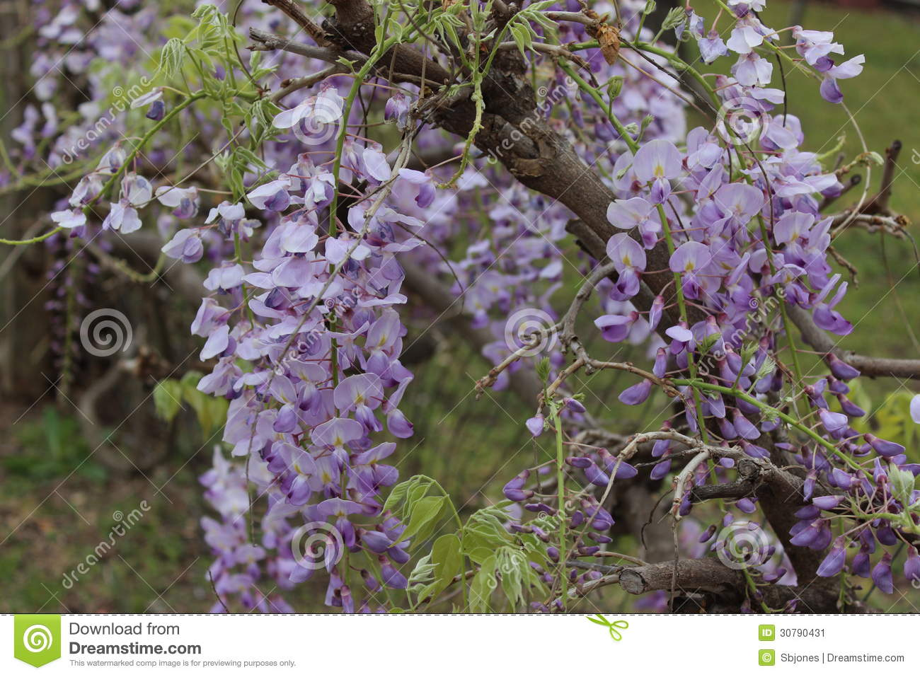 Purple Flowers In The Texas Hill Country Stock Image Image Of