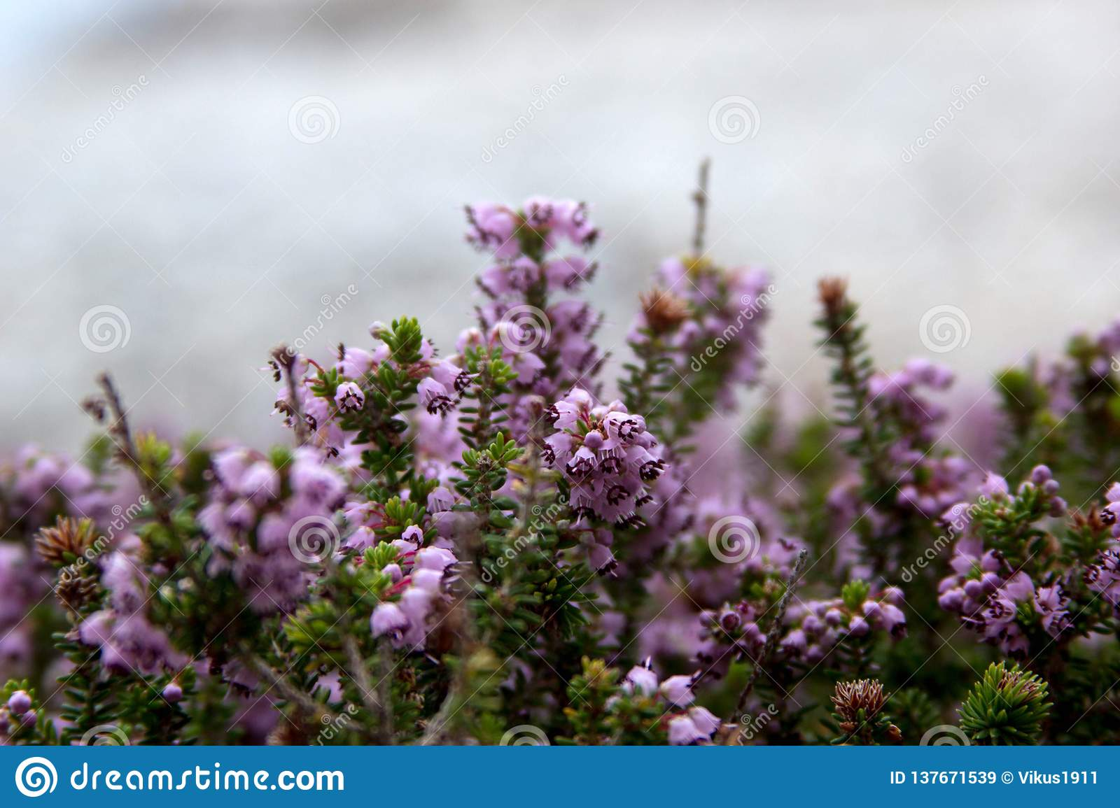 Purple flowers for text