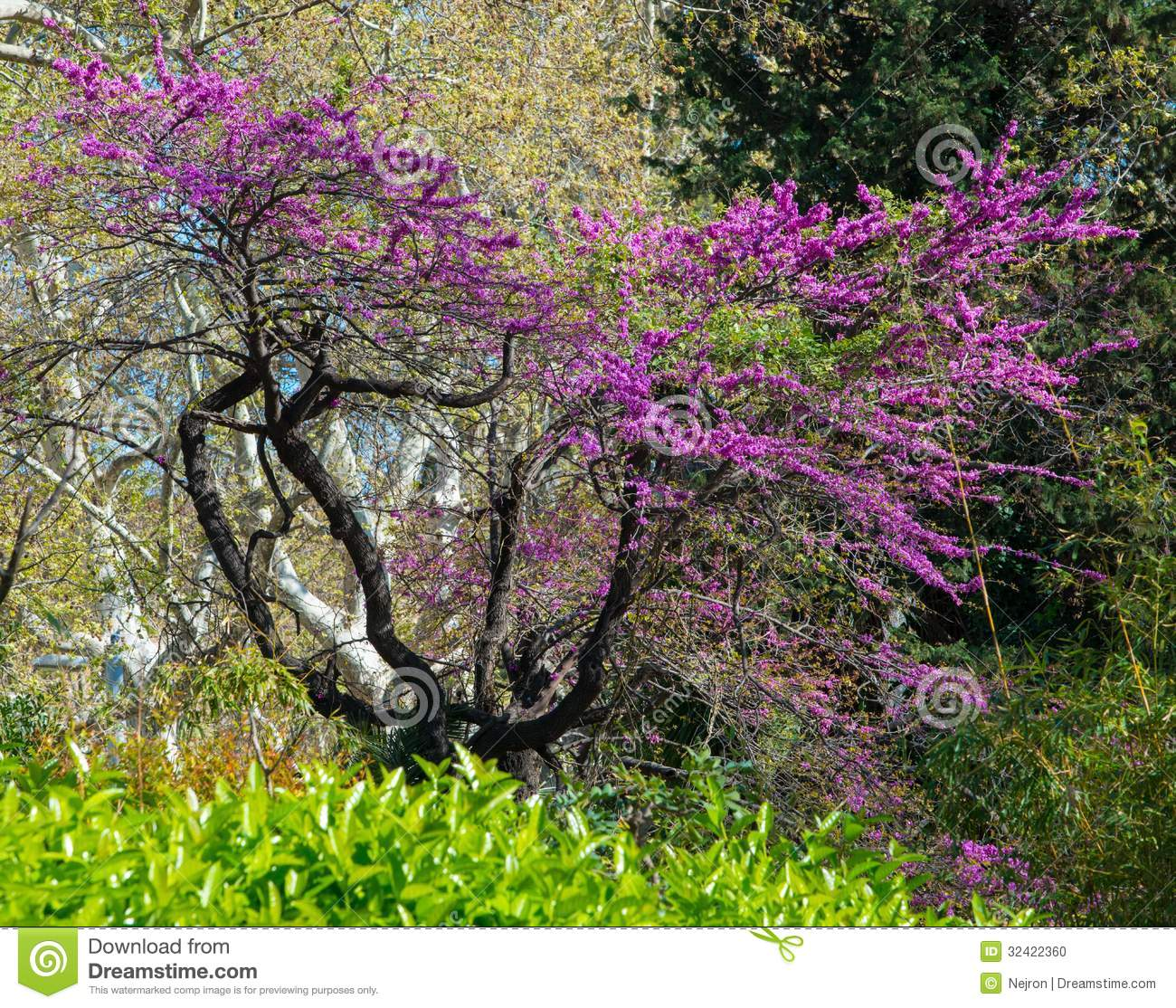Purple flowers on tree stock photo image of botany branches 32422360 purple flowers on tree mightylinksfo