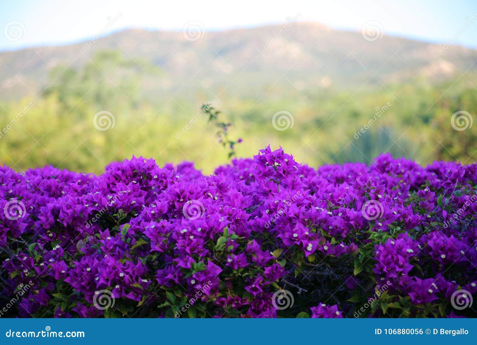 Purple flowers violet flores purpura violetas 50 megapixels picture