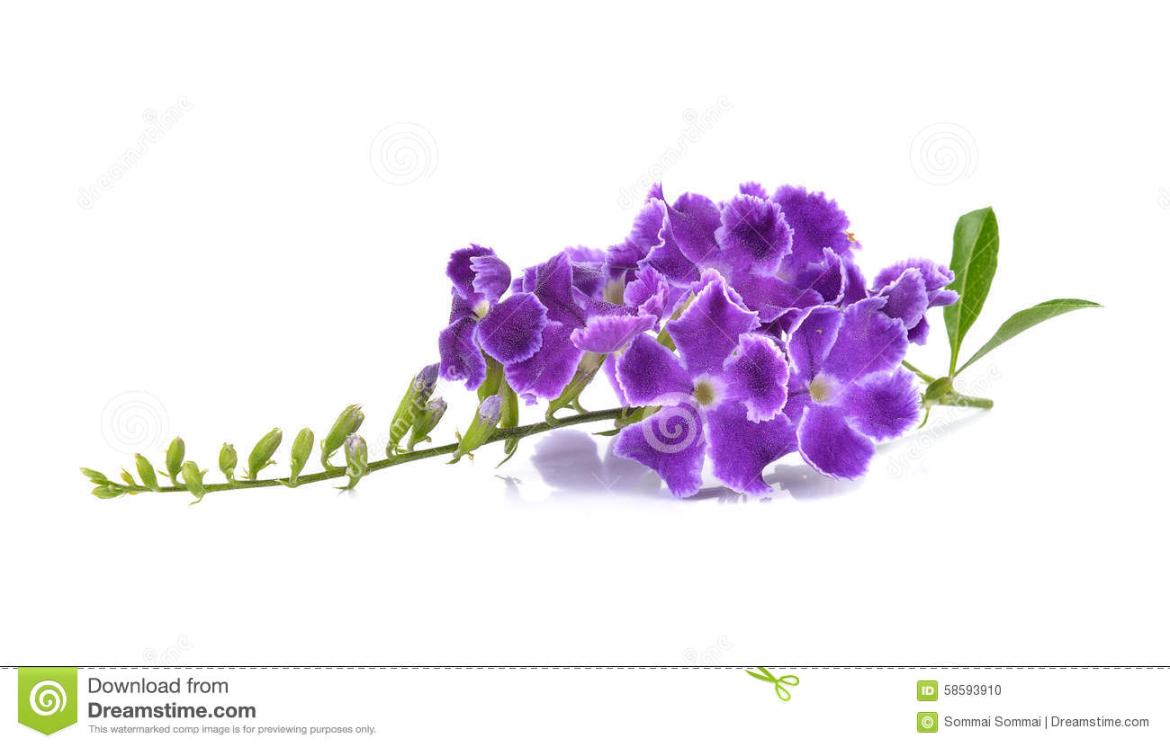 Cool purple flower white background pictures inspiration wedding purple flowers on white background stock photo image of violet mightylinksfo Choice Image