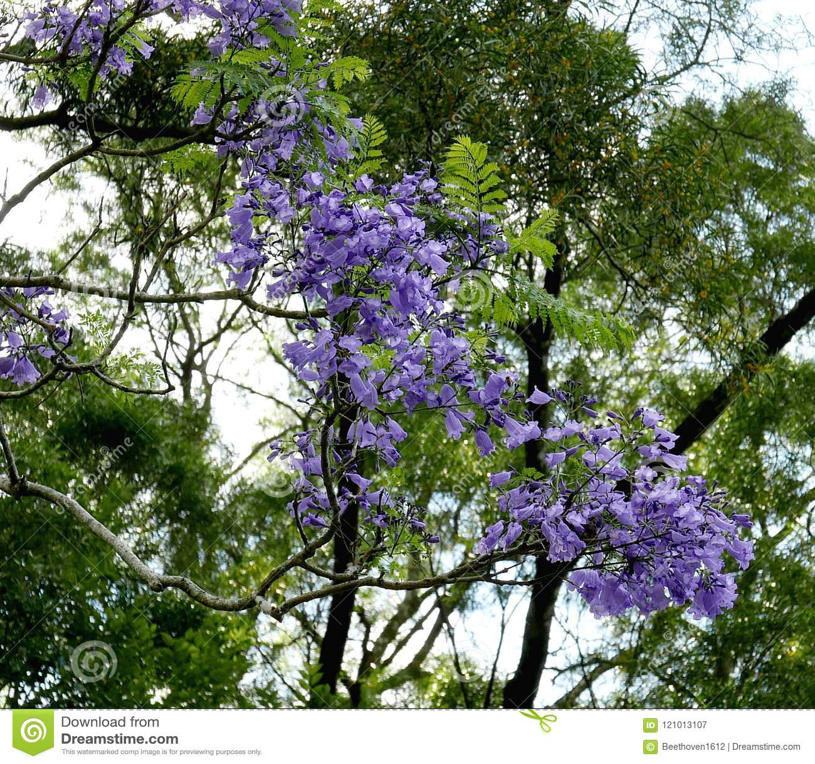Purple Flowers Stock Image Image Of Japanese Tree 121013107