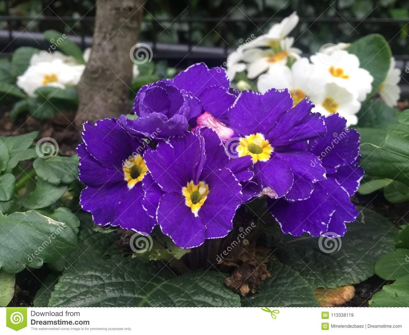 Purple Flowers With Yellow Centers Stock Image Image Of Beauty