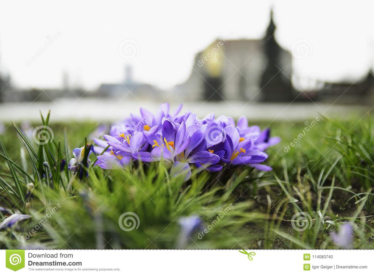 Purple Flowers With Yellow Stamens Against The Backdrop Of The