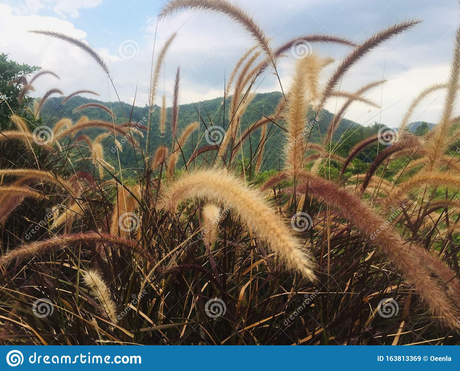 Purple Fountain Grass Ornamental Grasses Stock Image Image Of