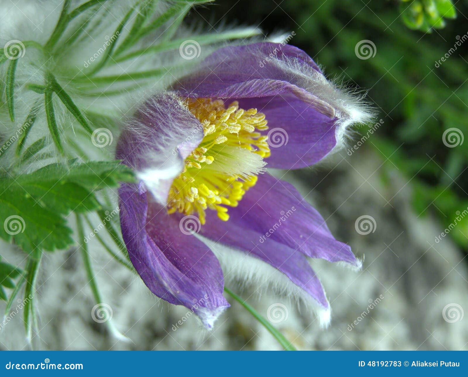 Purple fuzzy flower stock image image of fuzzy spring 48192783 purple fuzzy flower mightylinksfo