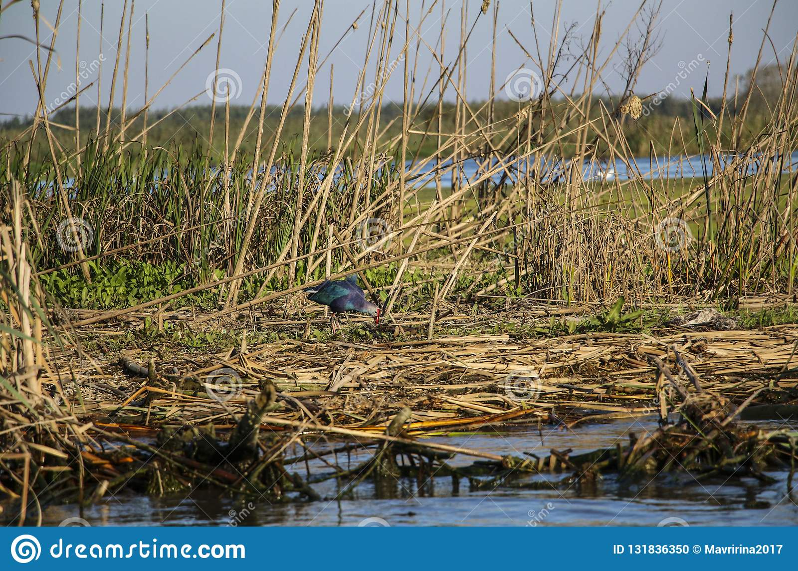 A purple gallinule, a species of moorhen in one of the lagoons o