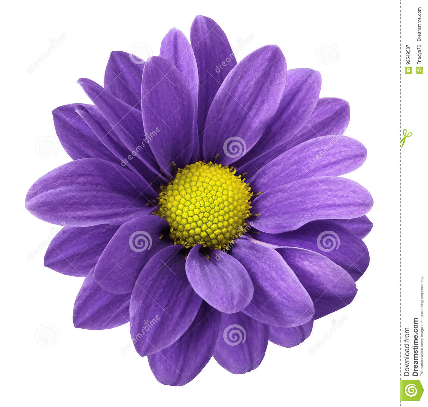 Purple gerbera flower. White isolated background with clipping path. Closeup. no shadows. For design.