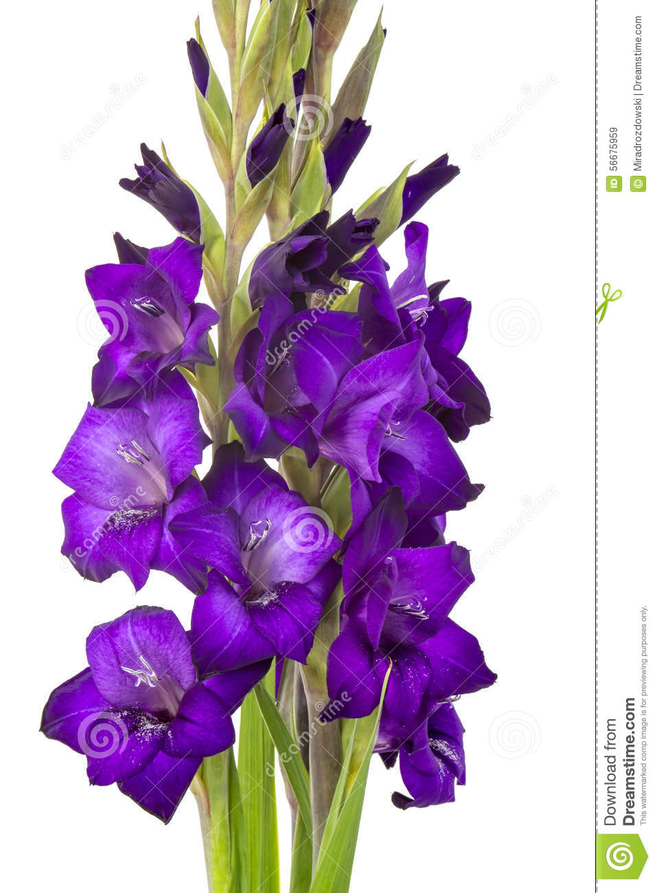 Purple gladiolus flowers stock image of bouquet