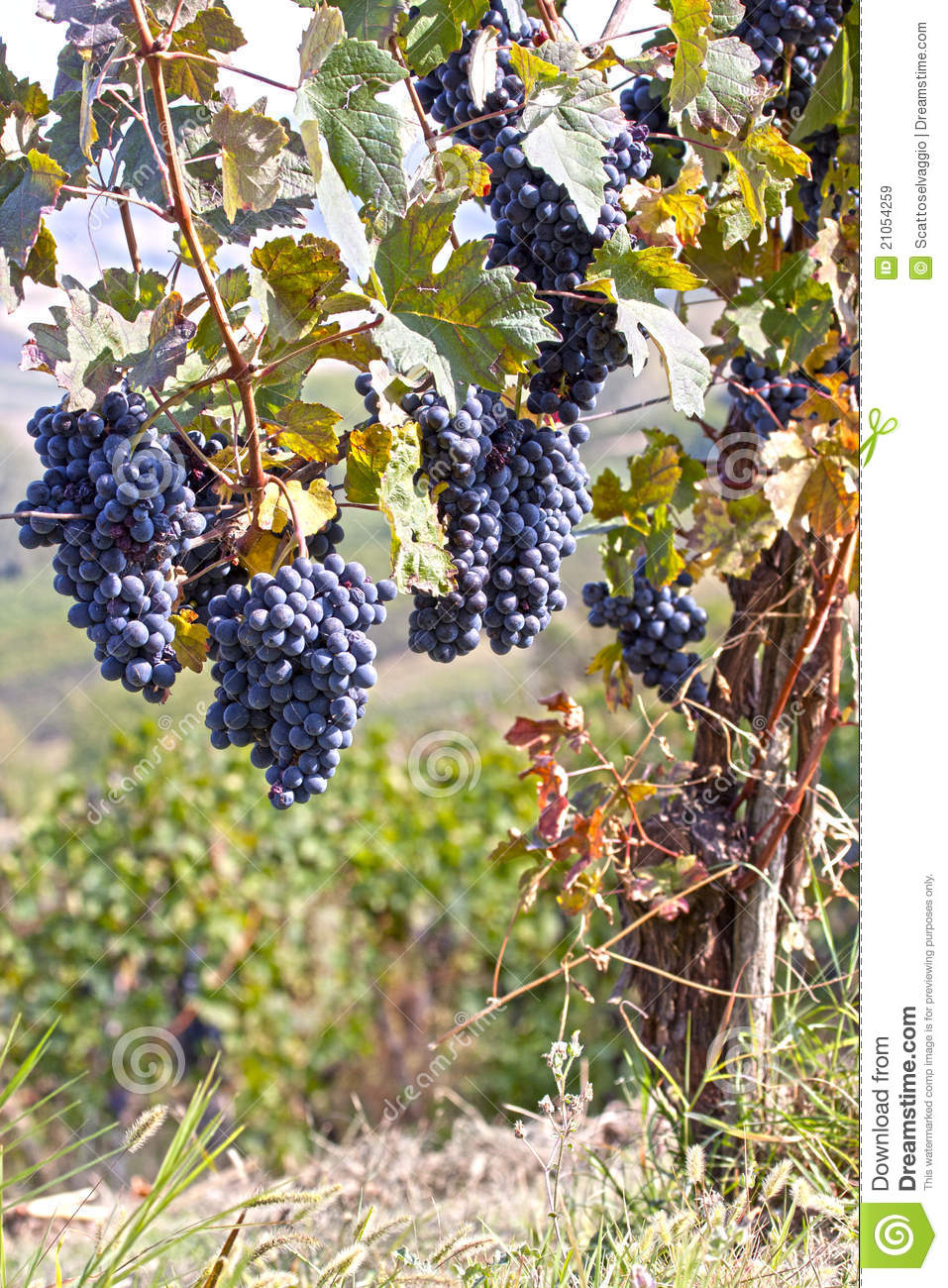 Purple wine grapes on the vine, Oltrepo Pavese, Italy.
