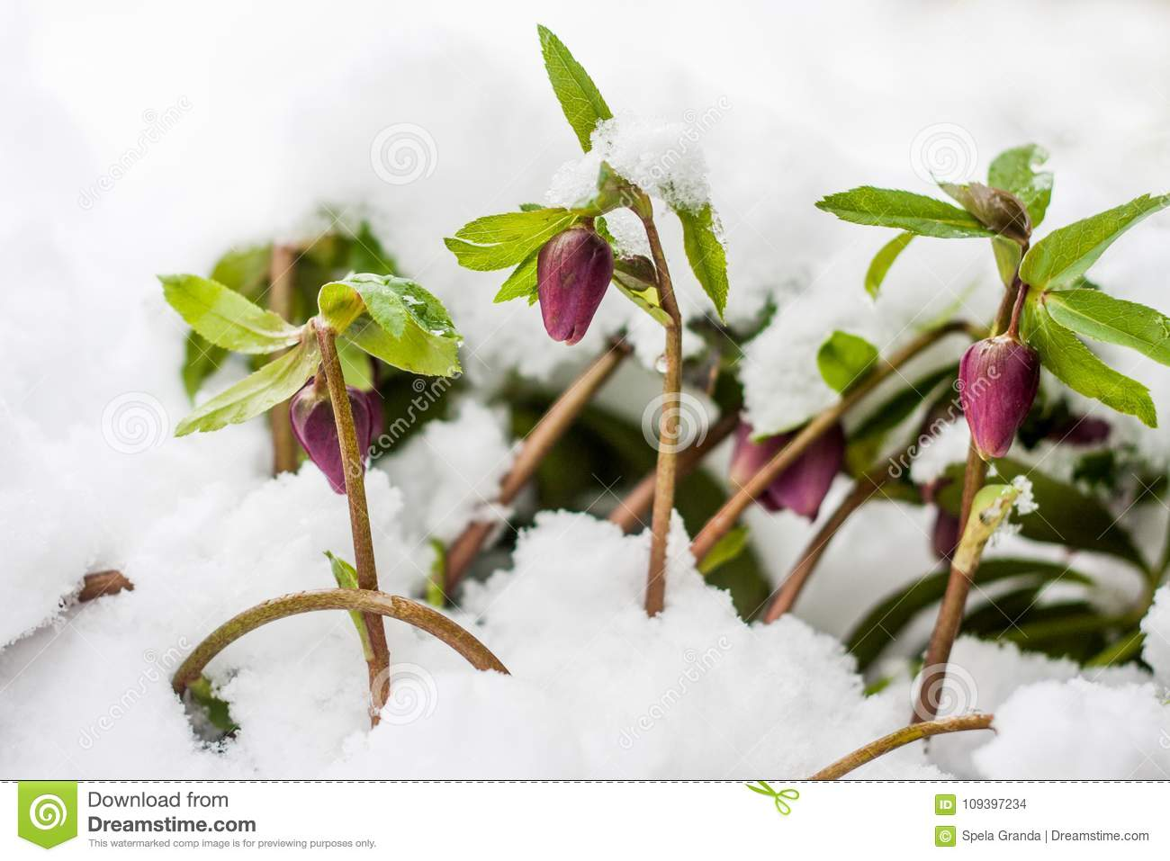 Hellebore Flowers Blooming In Winter Stock Photo Image Of Branch