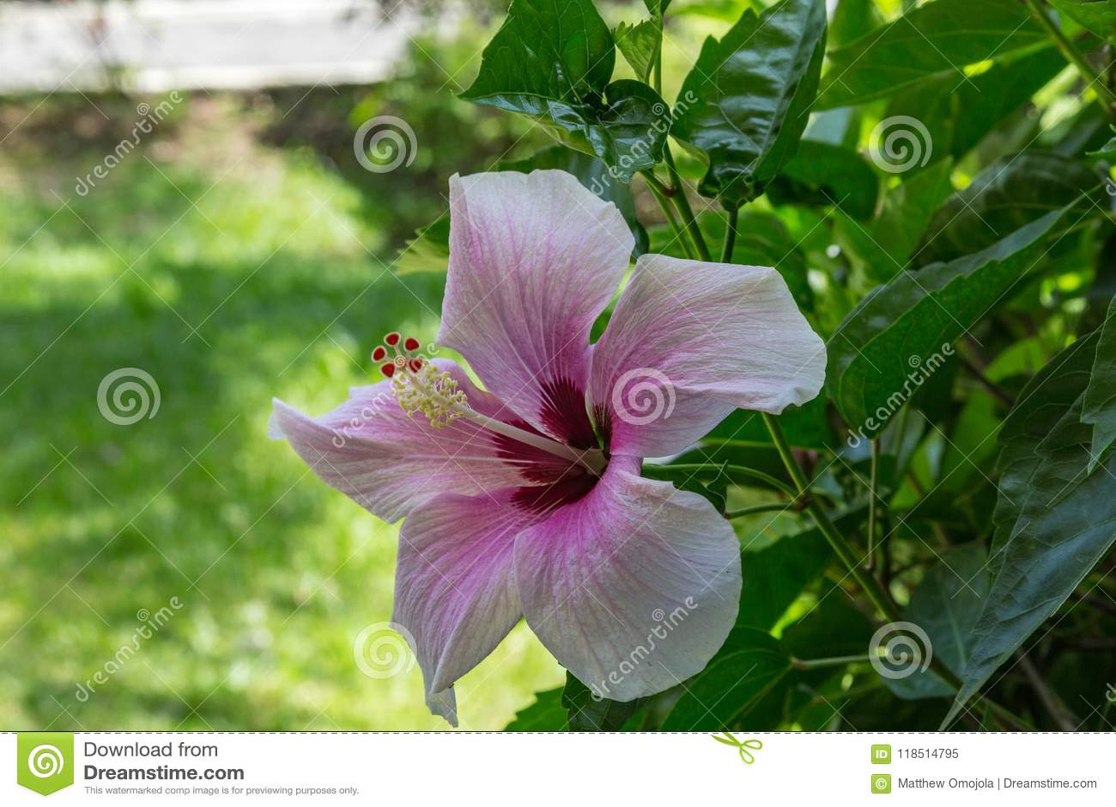 Purple Hibiscus As Seen In Montego Bay Lucea Jamaica Stock Image