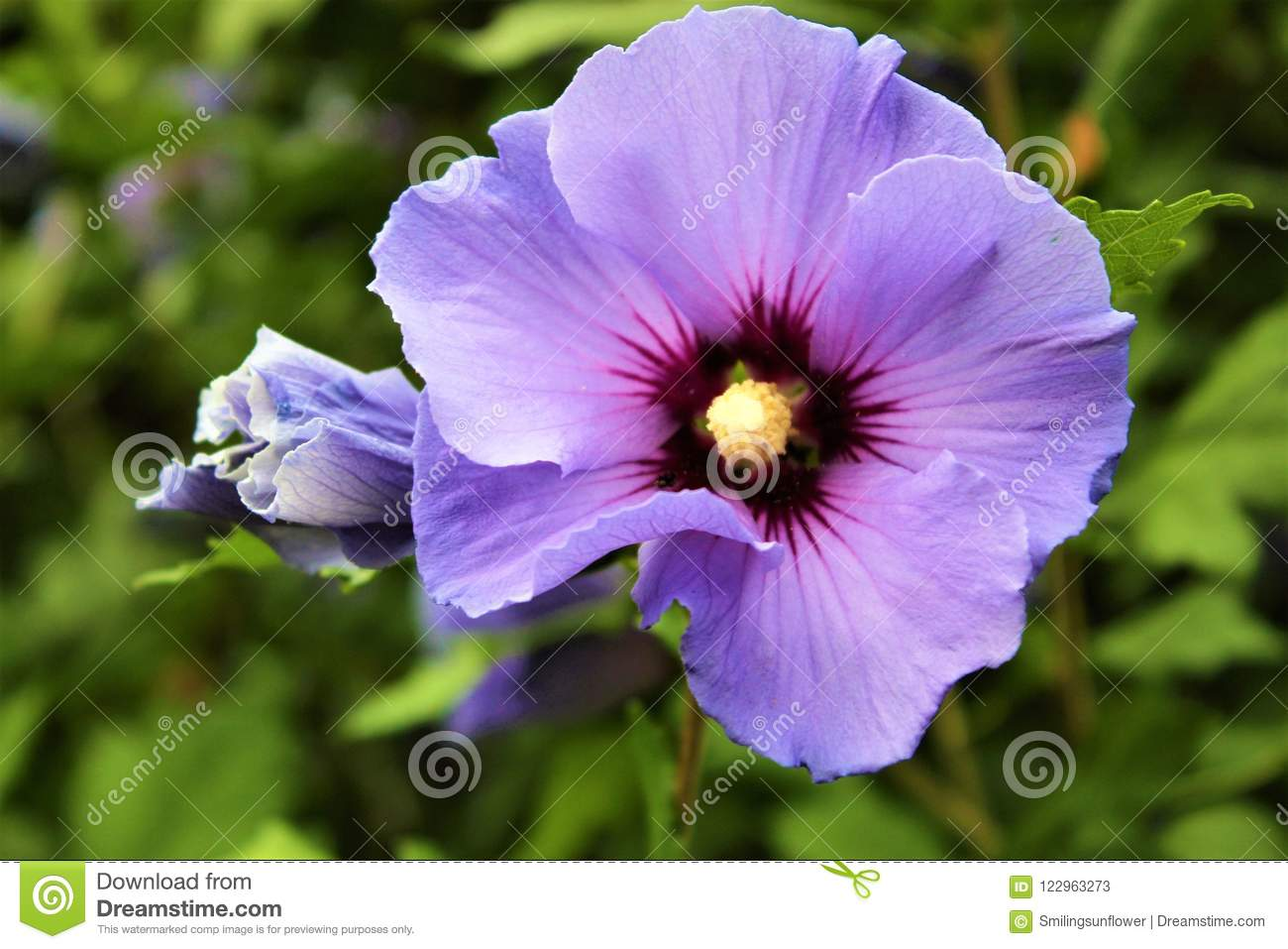 Purple Hibiscus Flower Stock Image Image Of Ornamental 122963273