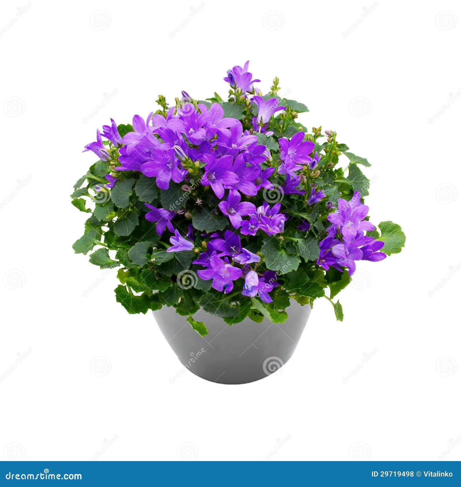 Purple indoor plant purple house plant campanula