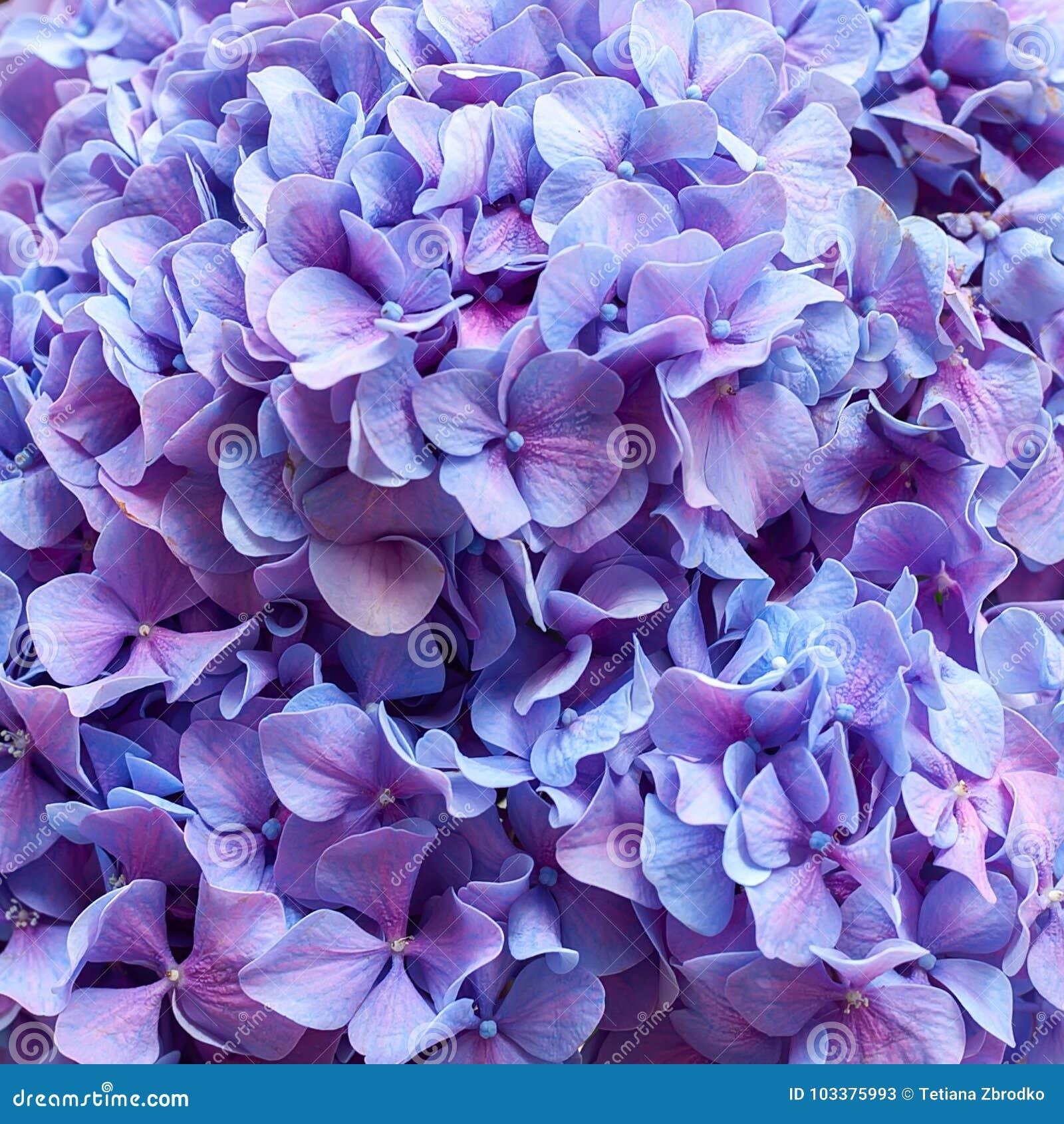 Purple Hydrangea Background Stock Image Image Of Color Beautiful - Color-hortensia