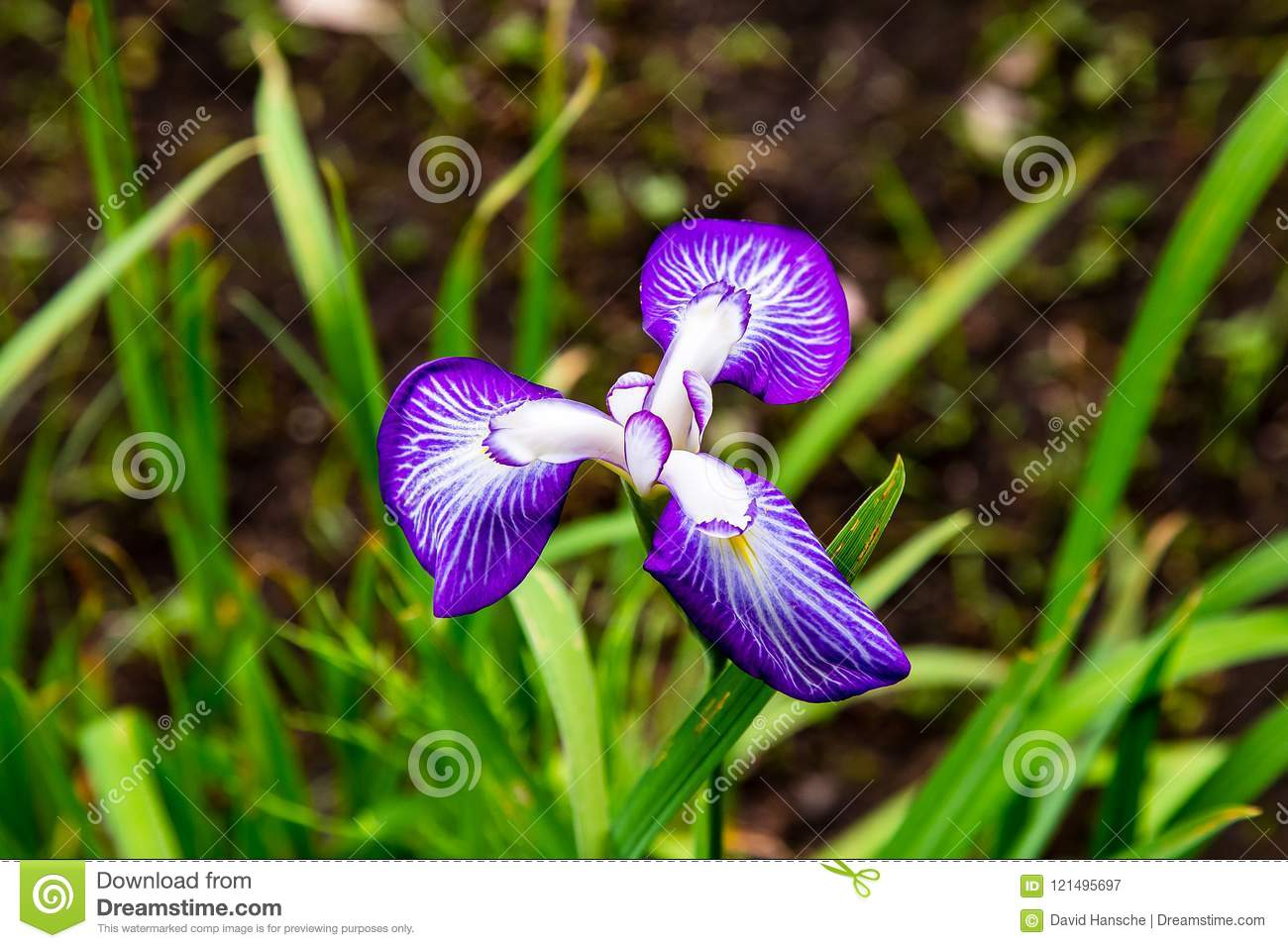 Purple Iris In Bloom In The Park Stock Image Image Of Green