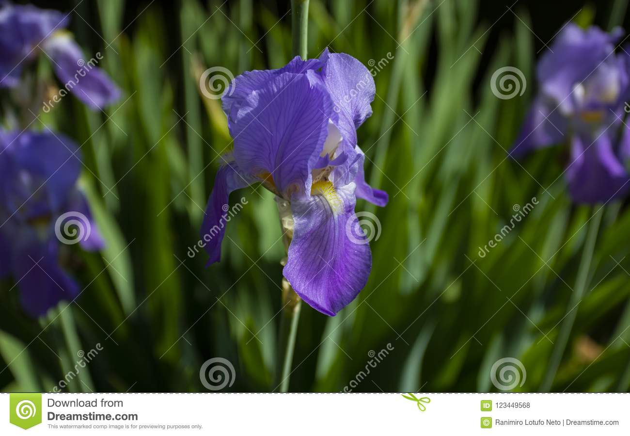 Purple Iris Flower Different Colors Growing In The Spring And