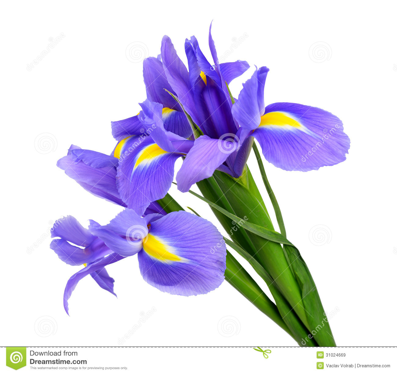 Purple Iris Flower Stock Image Image Of Natural Leaves 31024669
