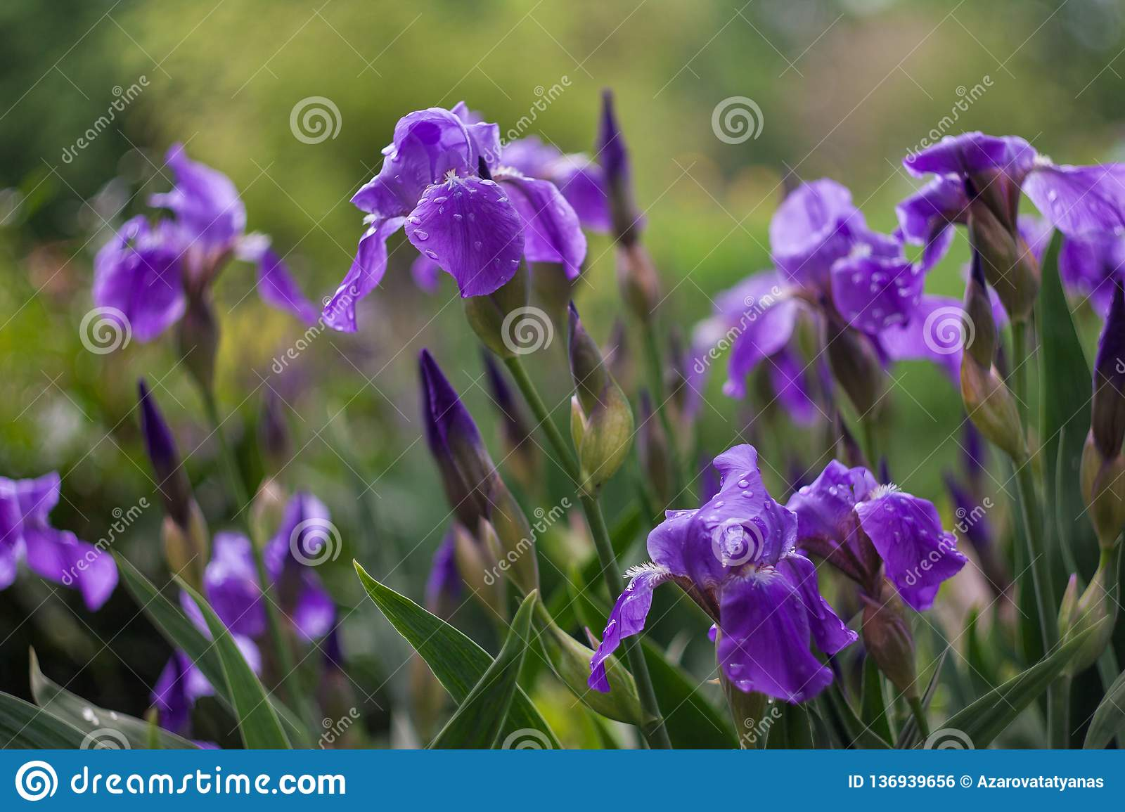 Purple irises bloom in a green garden in spring