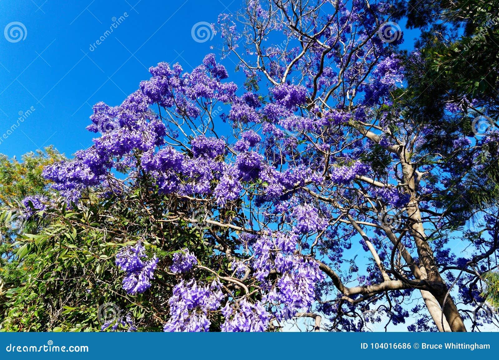 Purple Jacaranda Tree Flowers In Late Spring Stock Photo Image Of