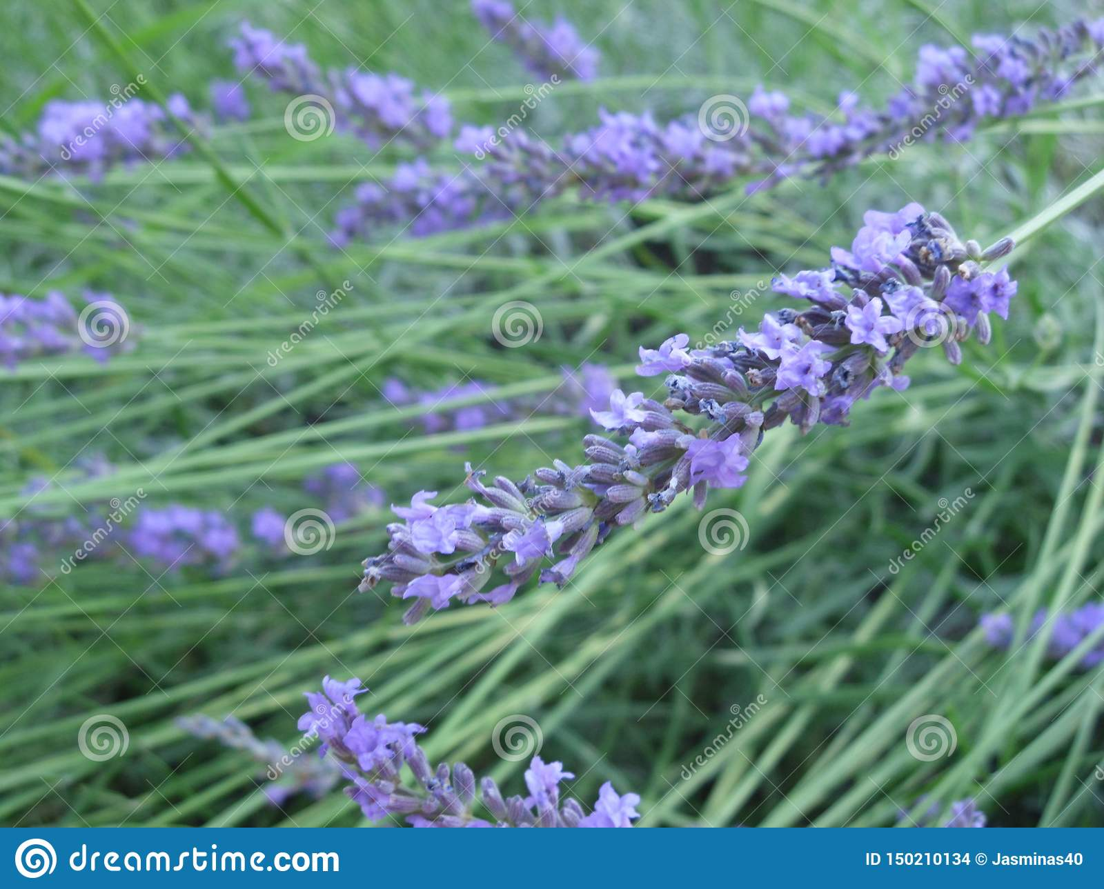 Purple lavandula flowers, herb for beauty and health, lavander