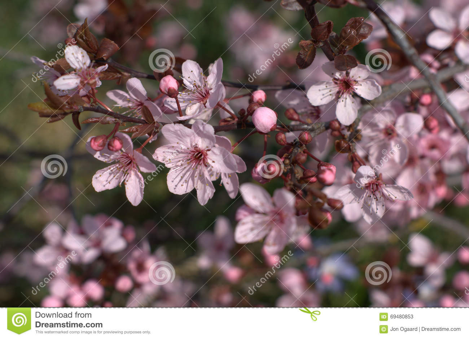 Purple Leaf Plum Stock Image Image Of Foliage Spring 69480853