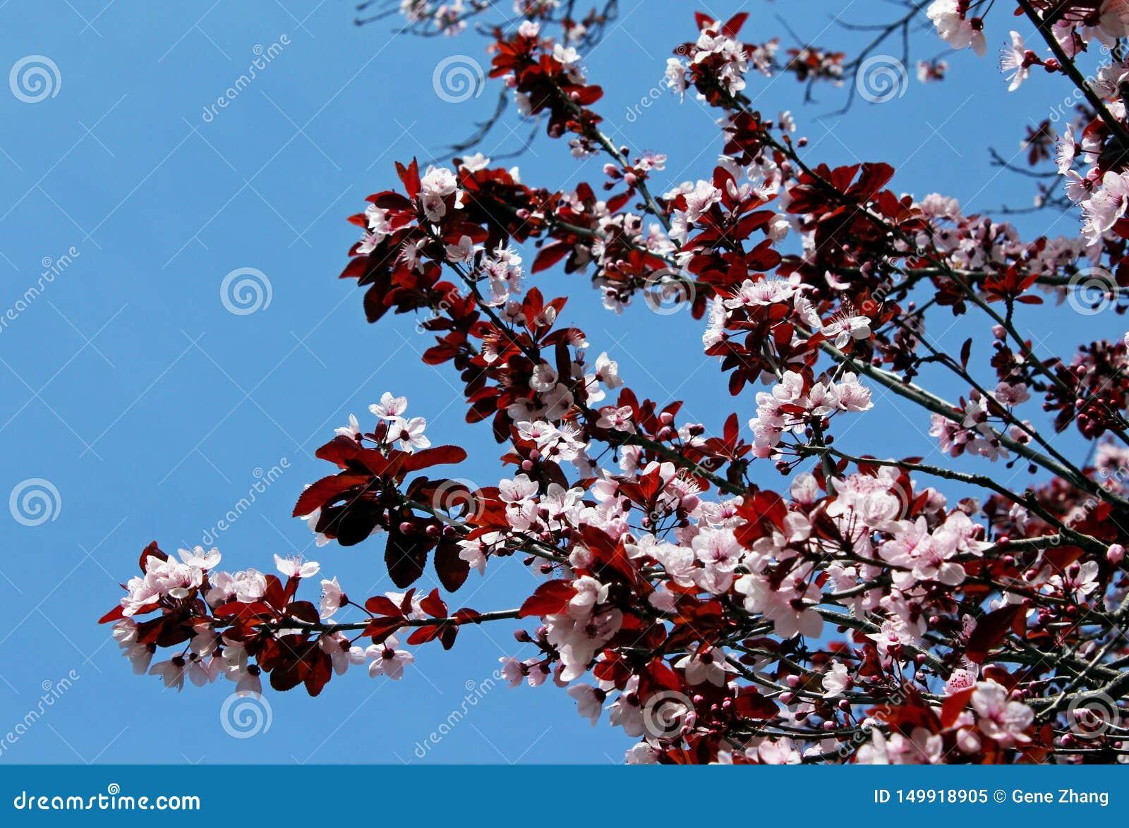 Purple Leaf Sand Cherry Blossom Stock Image Image Of Sand Plum