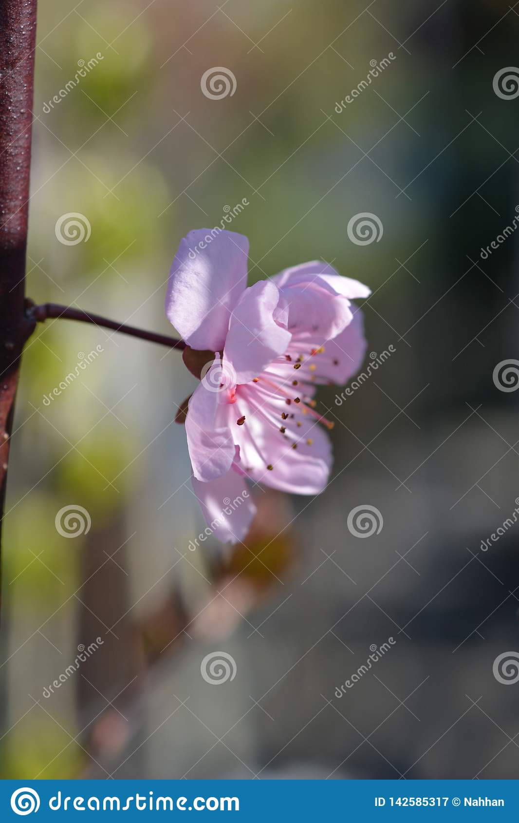 Purple-leafed plum