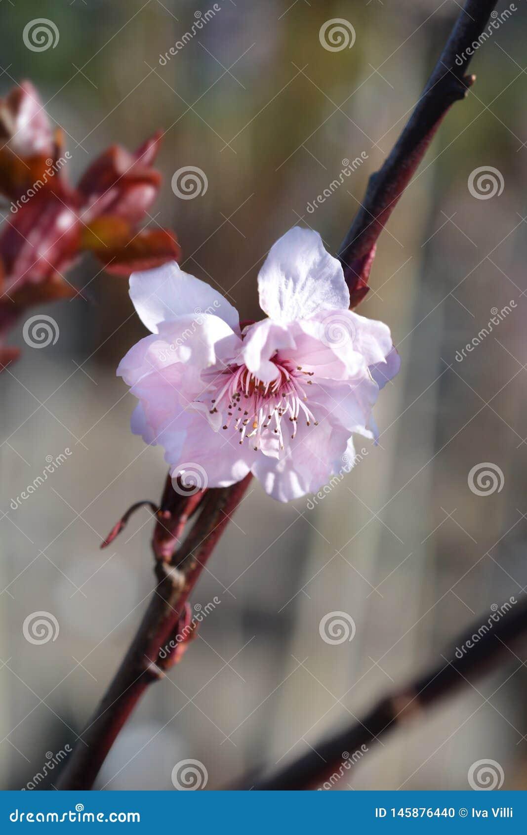 Purple-leafed plum