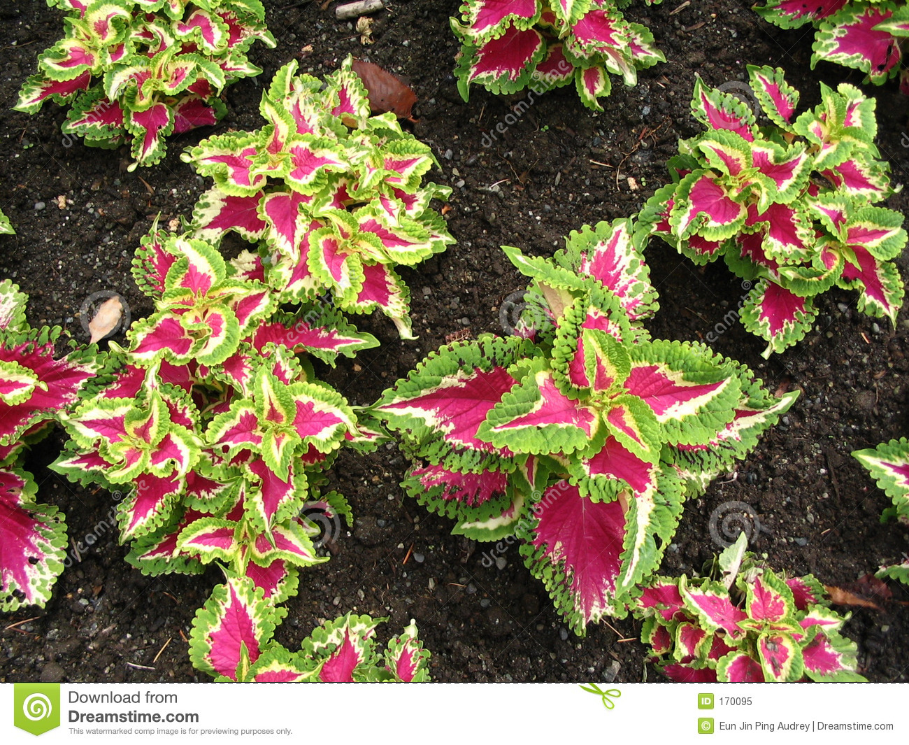 purpleleaved plants royalty free stock photo  image, Natural flower