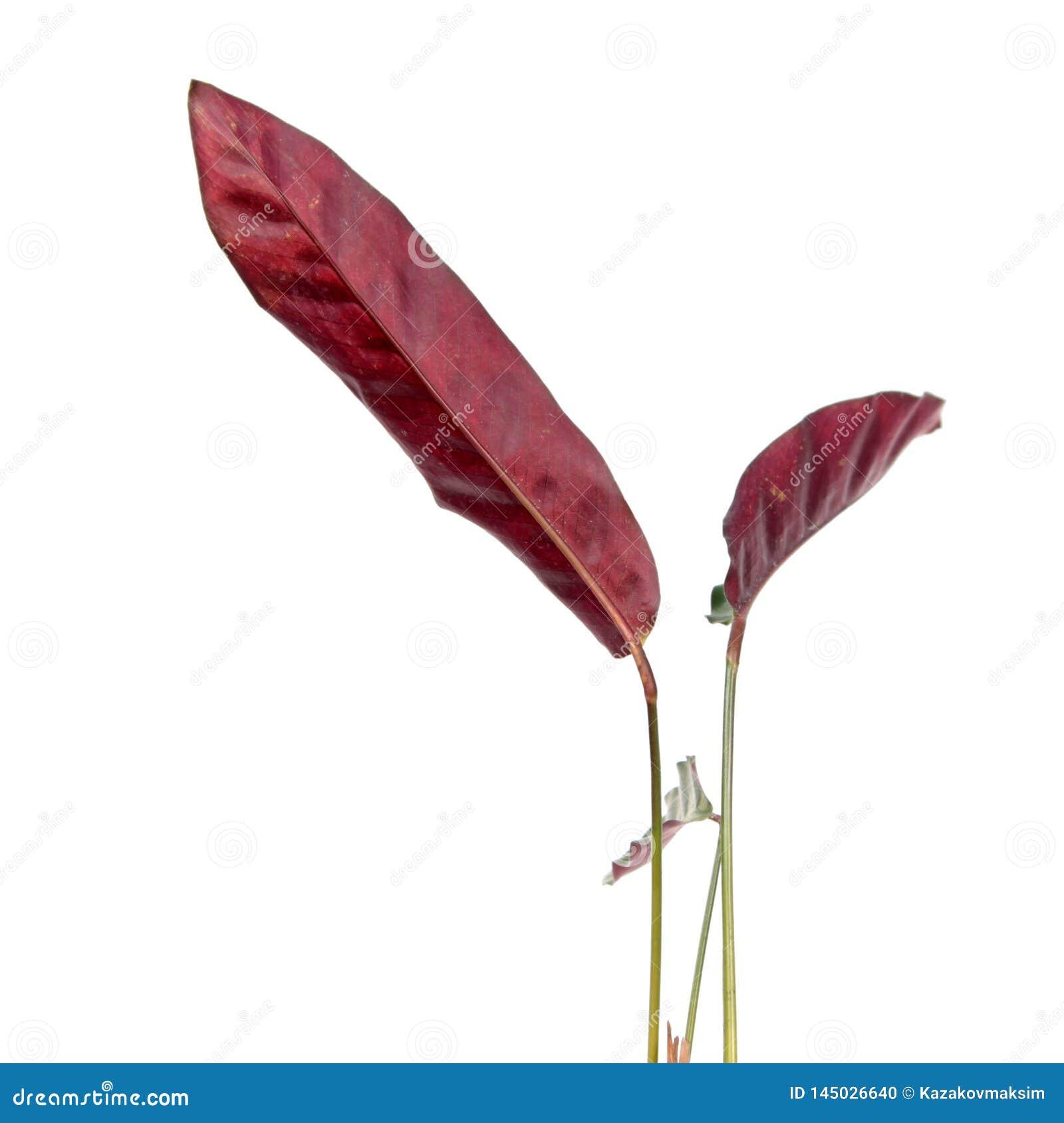 Purple leaves of Calathea lancifolia or Rattlesnake Plant isolated on white background