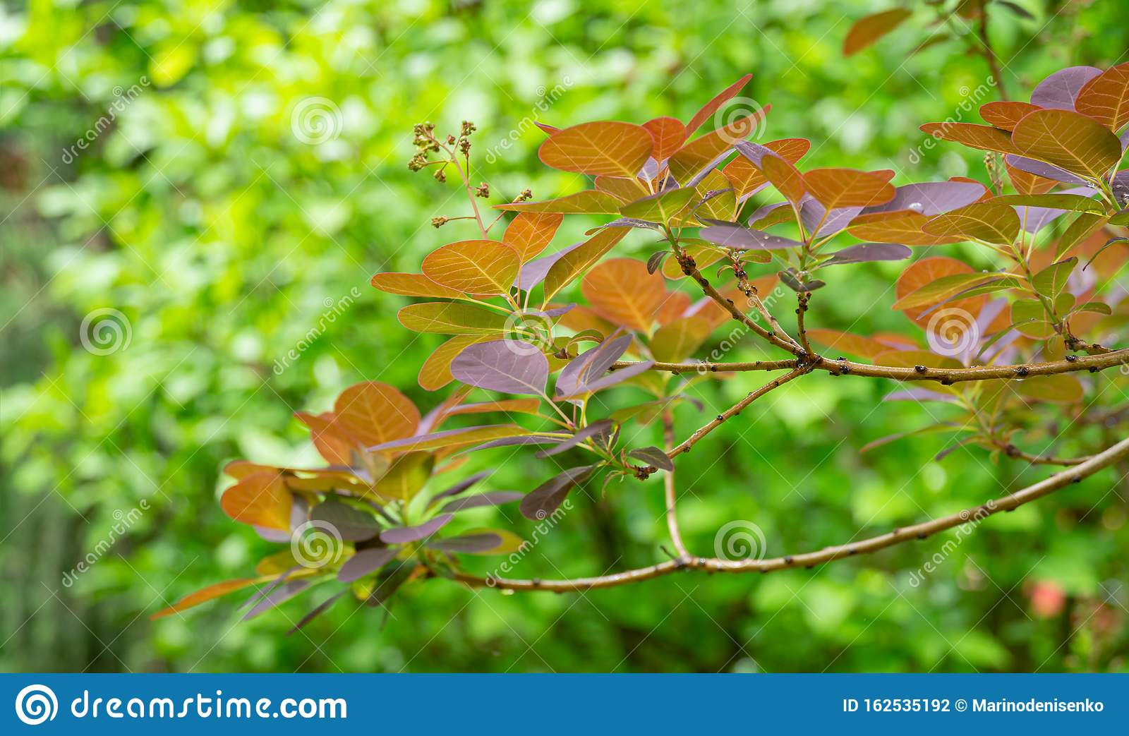 Purple Leaves Of Cotinus Coggygria Royal Purple Rhus ...