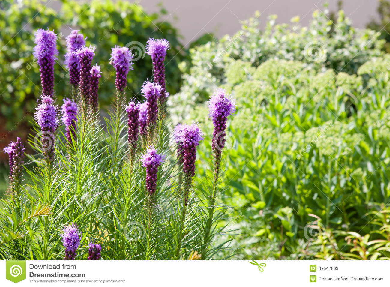 purple liatris flowers stock photo image 49547863