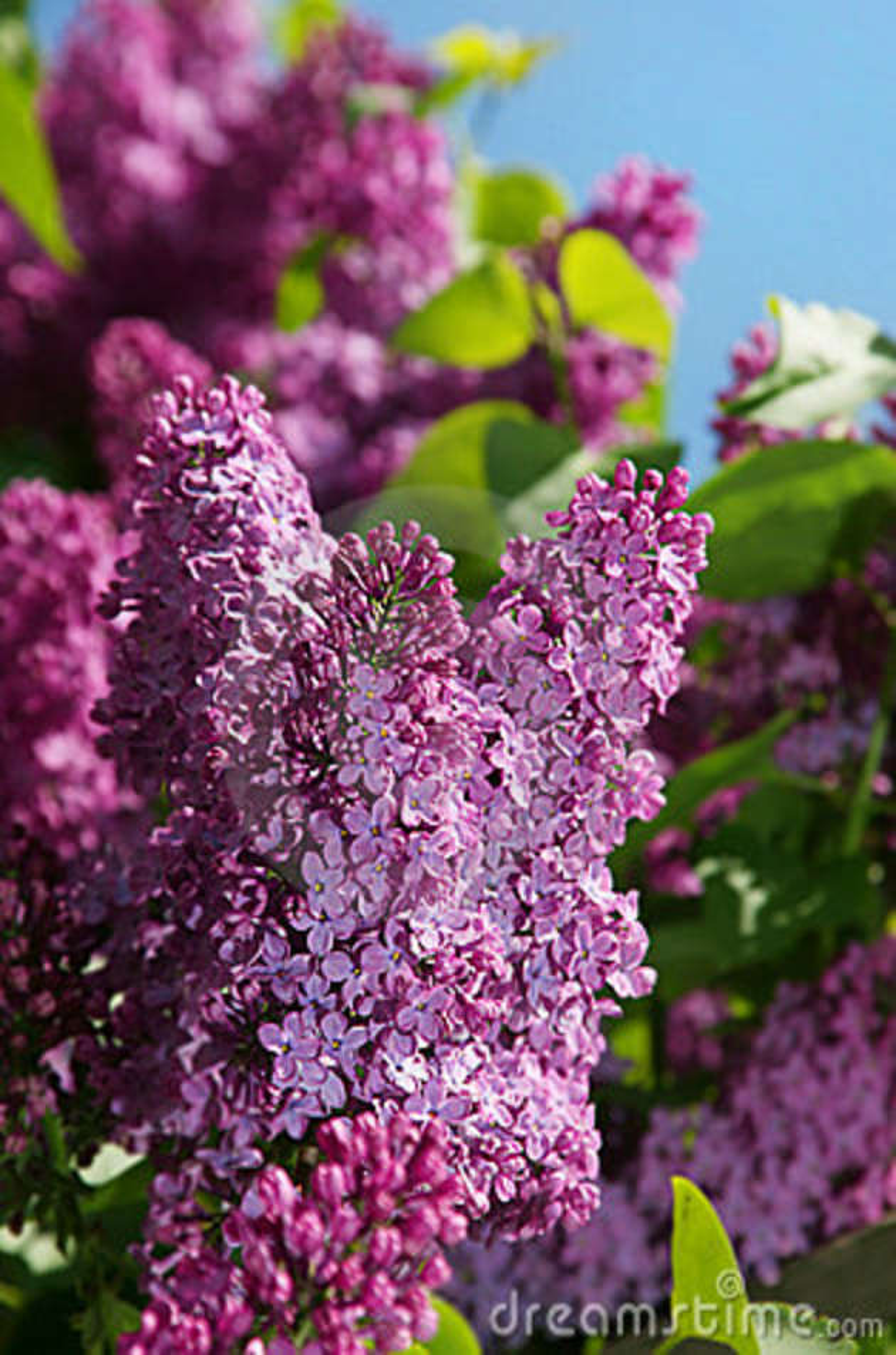 Purple Lilac Bush Flower Stock Photo Image Of Outdoor