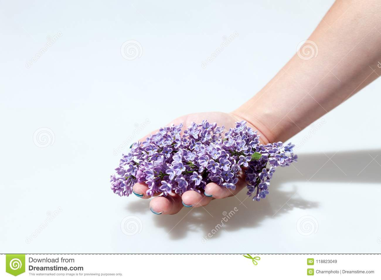 Purple Lilac Flowers Isolated on White Background. Hand giving a flower