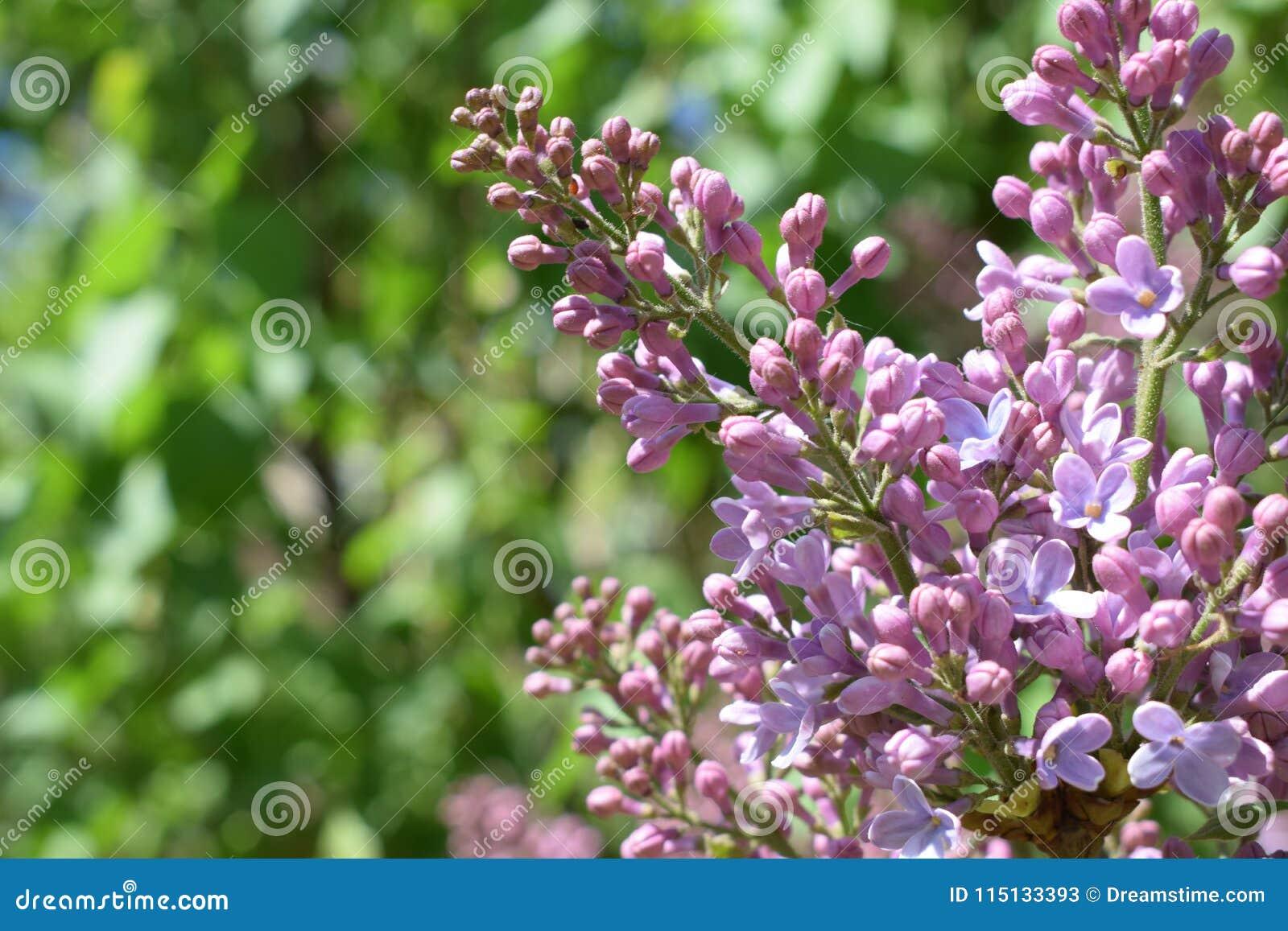 Purple lilac. spring mood. morning beauty
