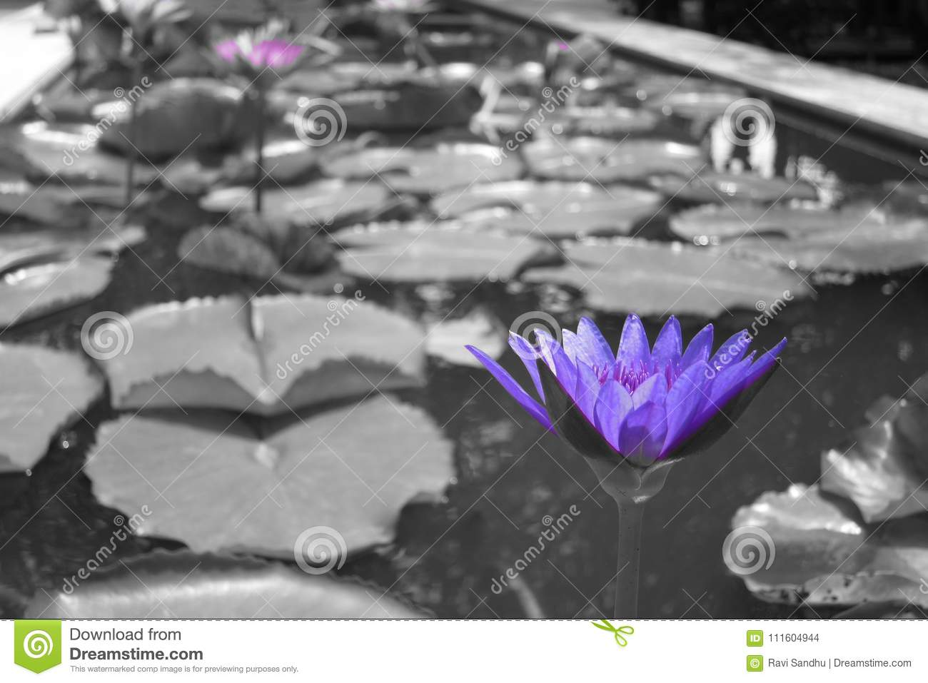 Purple lillies on pond in black and white
